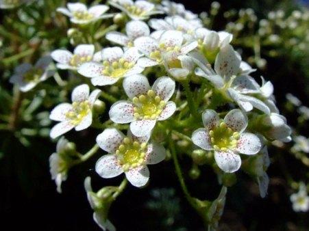 Varias flores de Altamira