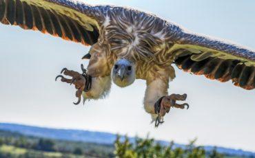monte-orhi-buitre leonado