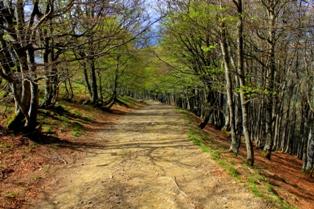 bosque-de-hayas-camino-frances