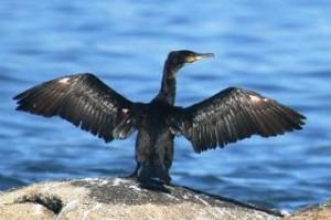 cormoran-costa-da-morte