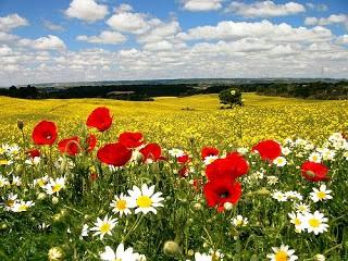 En primavera puedes cruzar por campos de amapolas y margaritas
