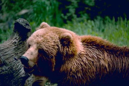 oso-pardo-en-pirineos
