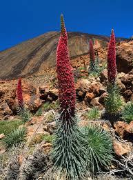 Tajinaste-rojo-parque-nacional-teide