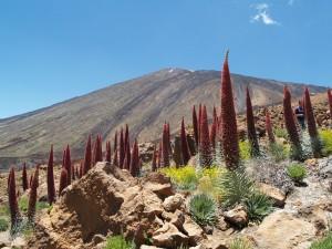 flora-parque-nacional-teide