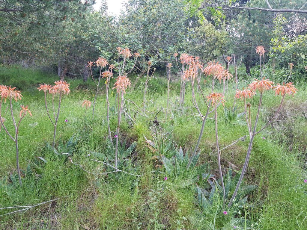 aloe-maculata
